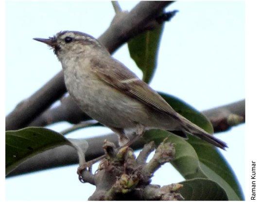 Humes warbler - Raman DSC05060 cropped 1