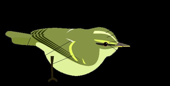 phylloscopus schematic_lite