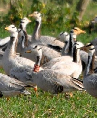 Bar-headed goose - Prabhat Bhatti - cropped