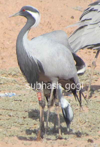Demoiselle Crane ringed - Subhash Gogi (copy)